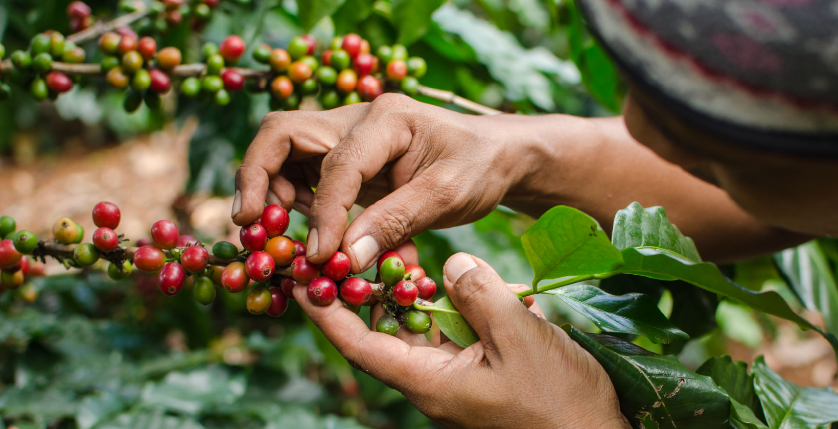 Miscela di Caffè BIO 100% arabica